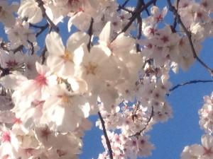 桜2IMG_2034