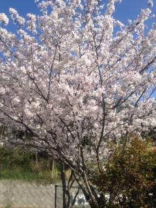桜IMG_2031